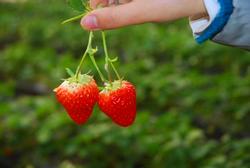 青岛夏庄摘草莓