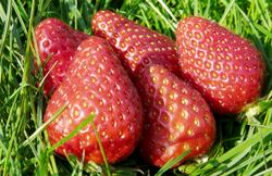 青岛采摘草莓