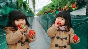 青岛夏庄草莓采摘