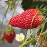 青岛草莓建立健全服务体系