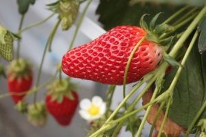 青岛草莓采摘,与放松相约,与开心相见