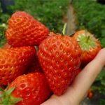 2017草莓种植正当时