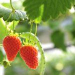 青岛草莓采摘节,一定要去夏庄采草莓