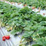 青岛草莓采摘团购,绝对的实惠之选