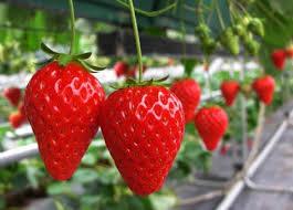 为什么要给草莓覆上地膜