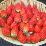 学校里的草莓农场