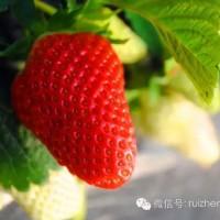 2019年青岛草莓采摘即将开始