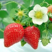 青岛草莓穴盘苗的优点