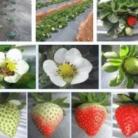来了解一下台湾的草莓农场