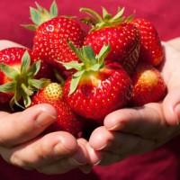 草莓采摘园怎样进行中耕除草?