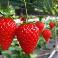 青岛夏庄头茬草莓300一斤?没那么贵
