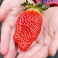草莓发展遇到的问题