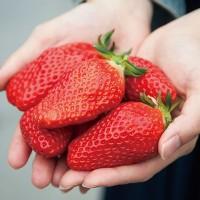 草莓生产今后的发展趋势如何