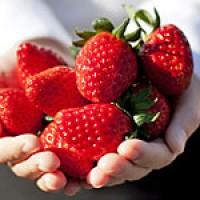 青岛郝家草莓高产的秘密