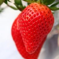 青岛甜宝草莓种植技术