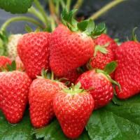 2020青岛草莓上市