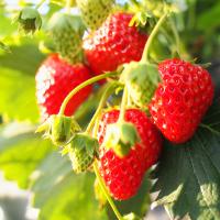 发展草莓电商